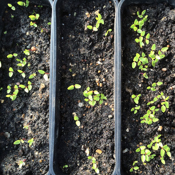 Newly emerged seedlings of Hablitzia Tamnoides - Caucasian Spinach