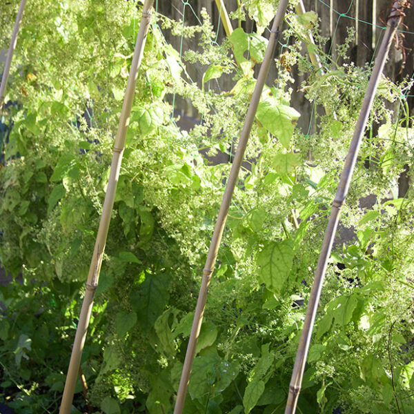 Hablitzia Tamnoides - Caucasian Spinach climbing up some bean netting