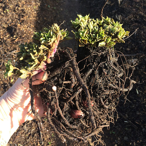 Hablitzia Tamnoides - caucasian Spinach crowns ready for transplanting