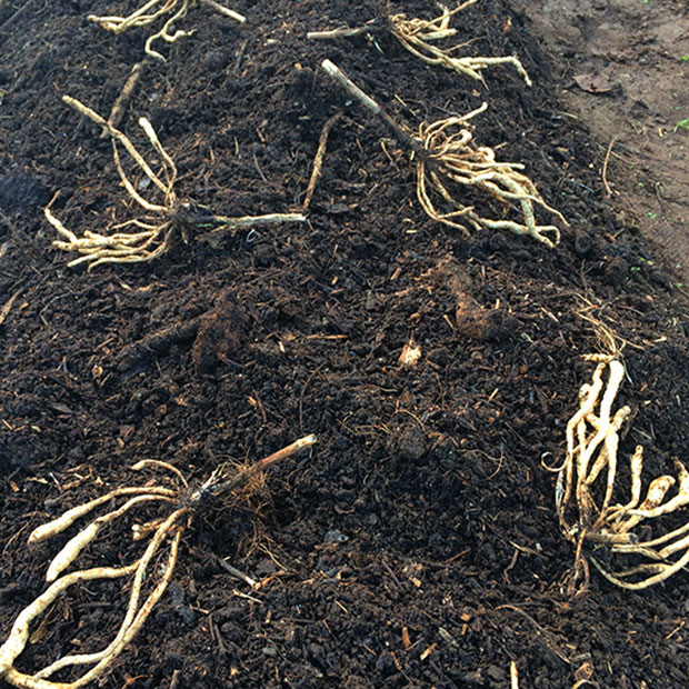 Skirret crown divisions laid out ready to plant