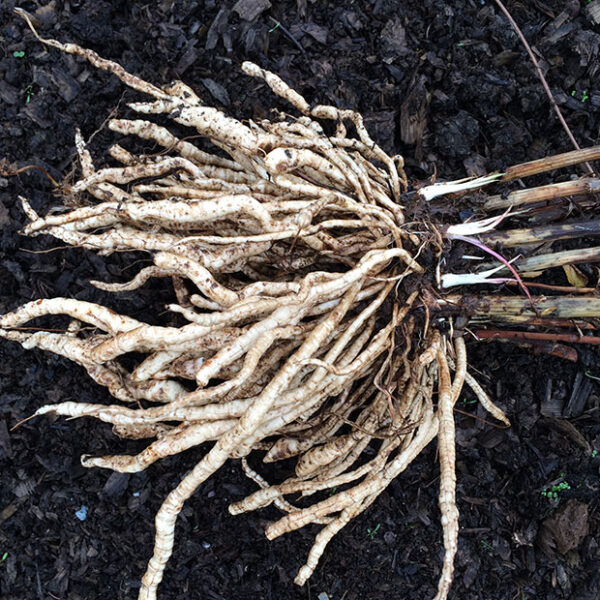 Freshly harvested skirret roots