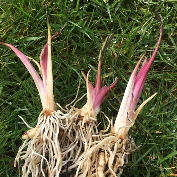 Skirret Offsets