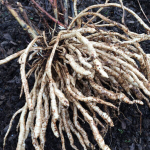 Skirret - Sium Sisarum