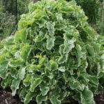 Daubenton perennial kale