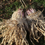 Two year old skirret root crowns