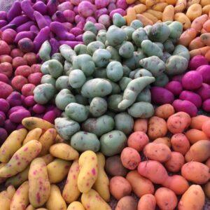 Ulluco harvest 2016