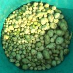 Ravelo Lisa Ulluco Harvest