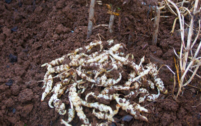 Chinese Artichokes – How to grow