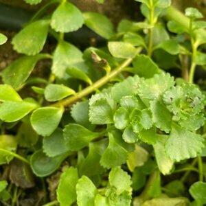 Crimson stonecrop - Sedum spurium