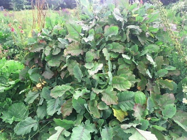 Purple tree collard x Daubenton kale