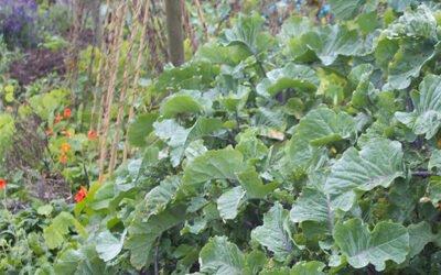Taunton Deane & Daubenton's Kale