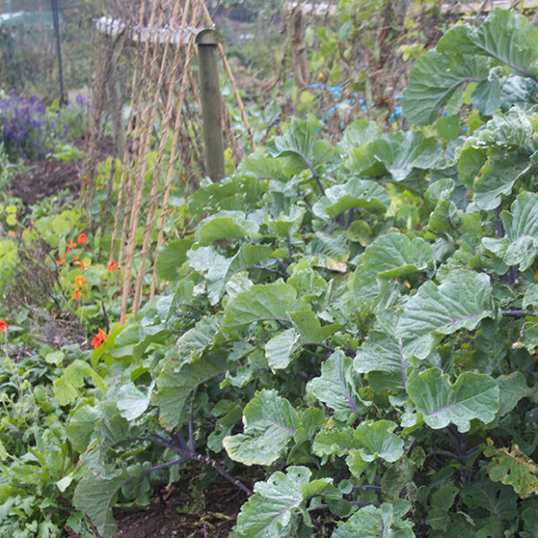 Perennial Taunton Deane Kale