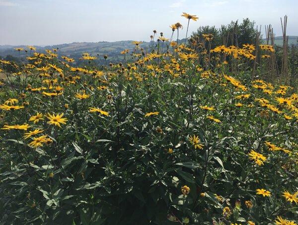 Dwarf Sunray Jerusalem artichokes