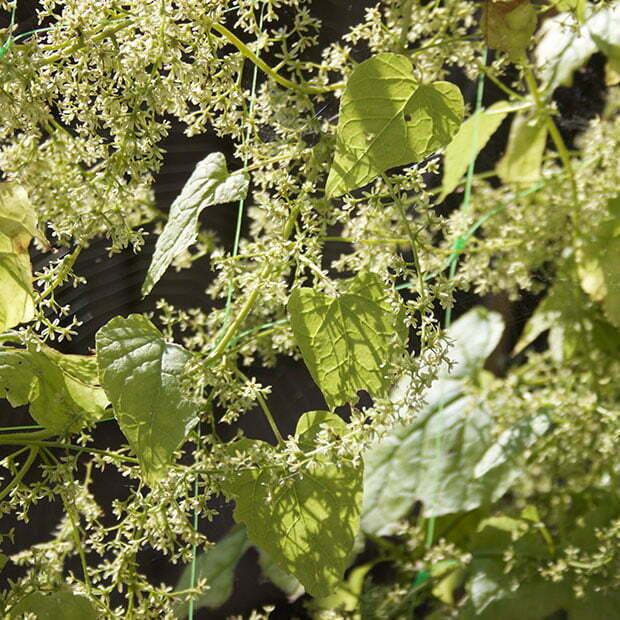Hablitzia Tamnoides perennial spinach