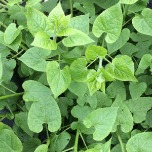 Tender and tasty leaves of Hablitzia