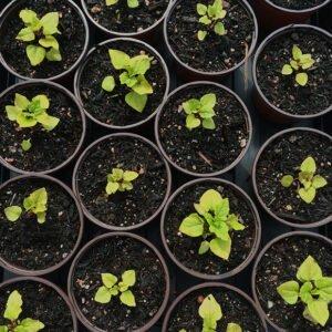 Hablitzia plants in pots