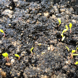 Newly germinated Hablitzia Tamnoides seedlings