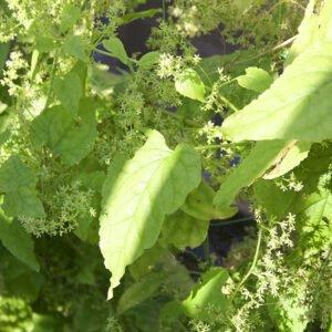 Hablitzia Tamnoides - Caucasian Spinach plant