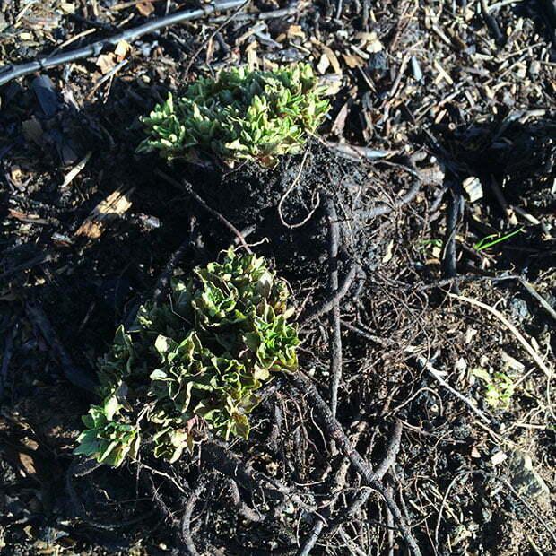 2 Hablitzia Tamnoides crowns