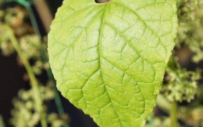 Hablitzia Tamnoides – how to grow