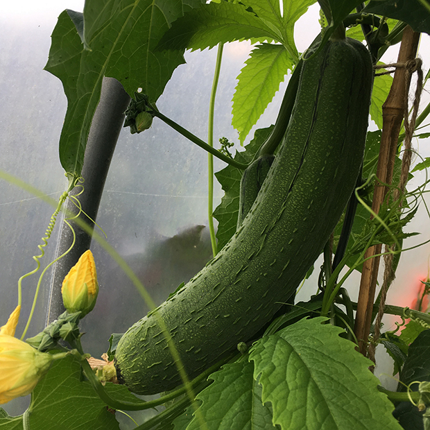 Luffa aegyptiaca growing in the polytunnel
