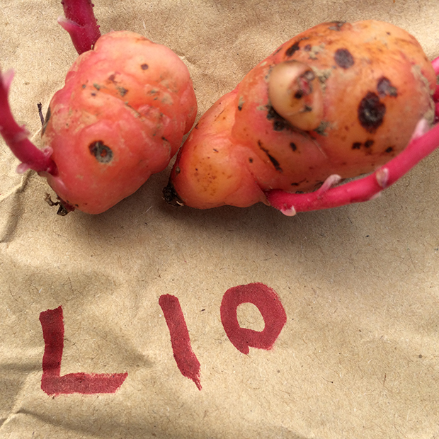 Oca tubers for the 2015 trials