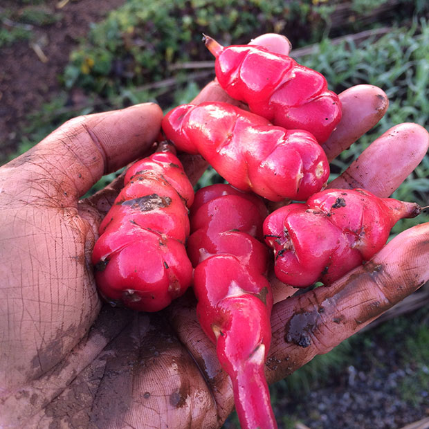 Freshly harvested red oca tubers