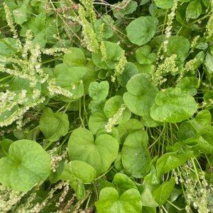 Oxyria digyna plants