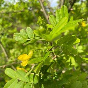 Siberian pea shrub