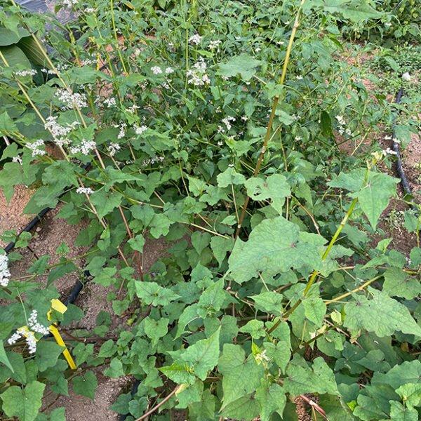 Perennial buckwheat Fagopyrum cymosum (F.dibotrys) 'GG'