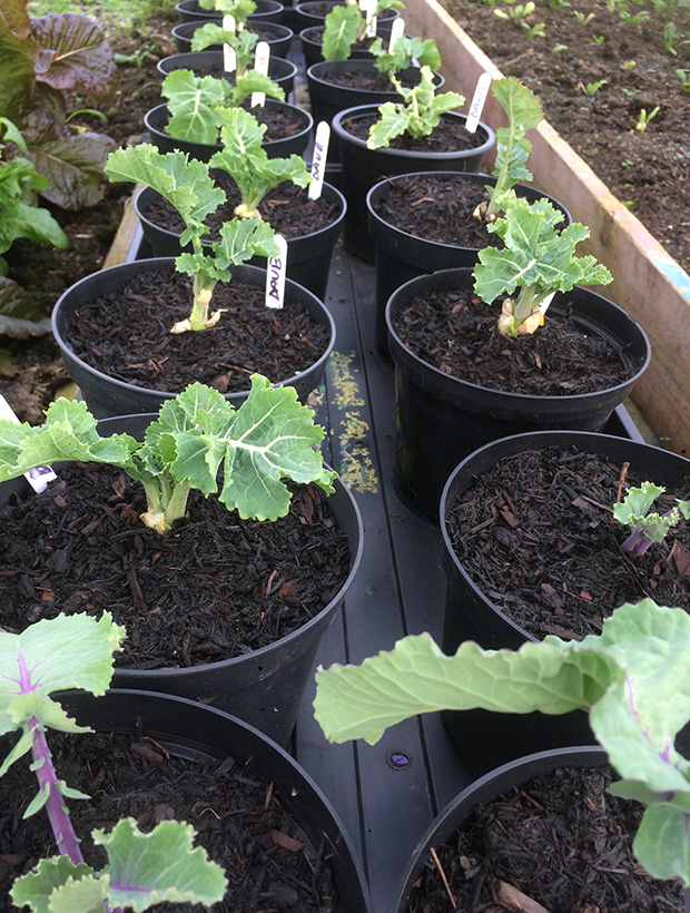 Perennial kale cuttings