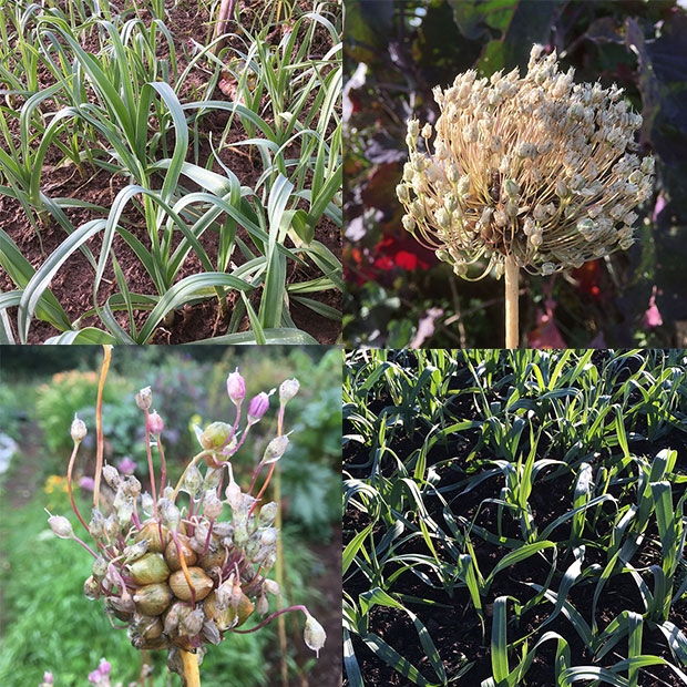 Perennial leeks