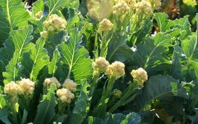 Perennial Nine Star Broccoli