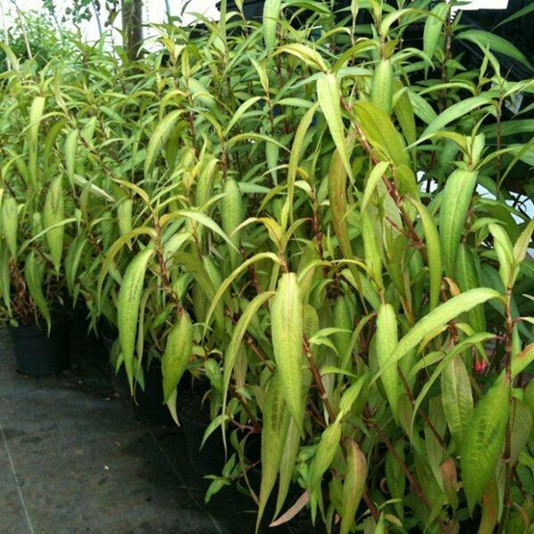 Vietnamese coriander, Persicaria odorata