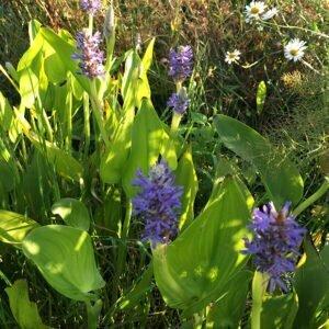 Pickerel weed flowers