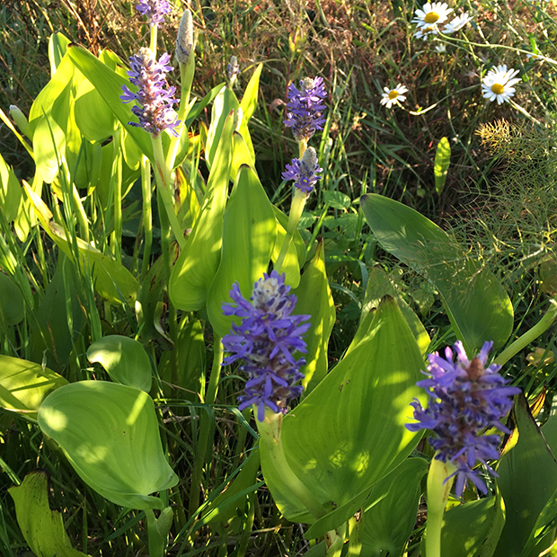 Pickerel weed flowers