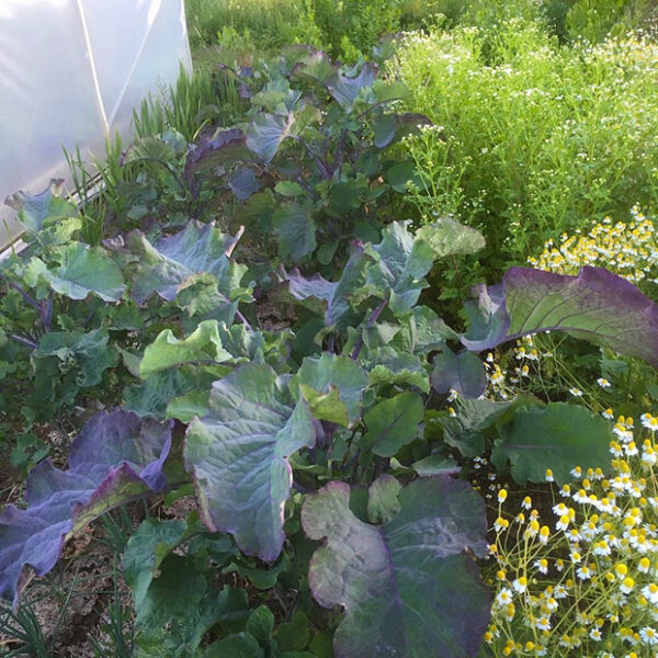 Purple tree collards are both beautiful and edible and can be propagated through cuttings really easily
