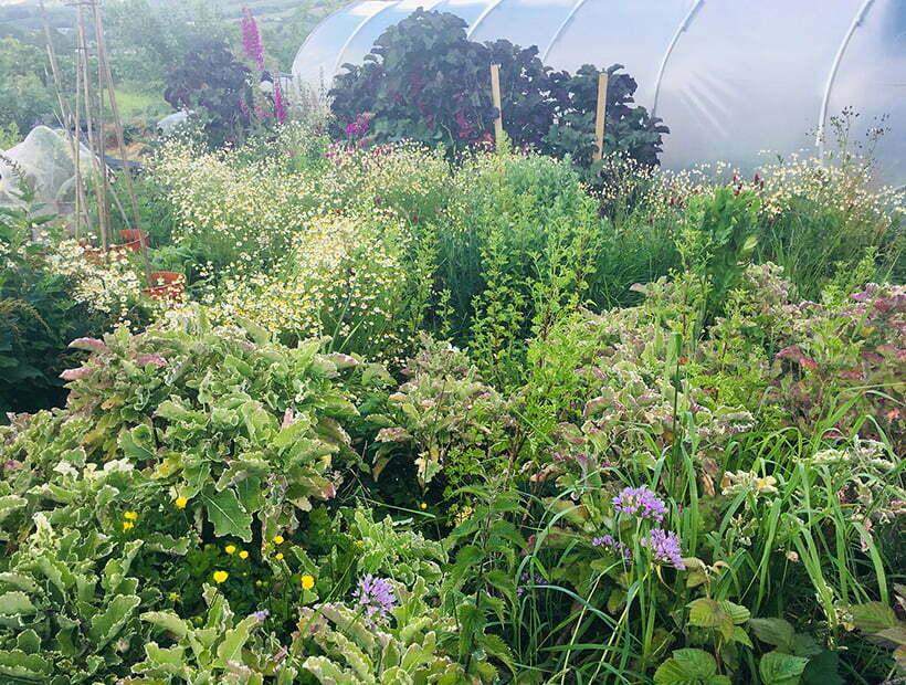 Daubenton variegated perennial kale