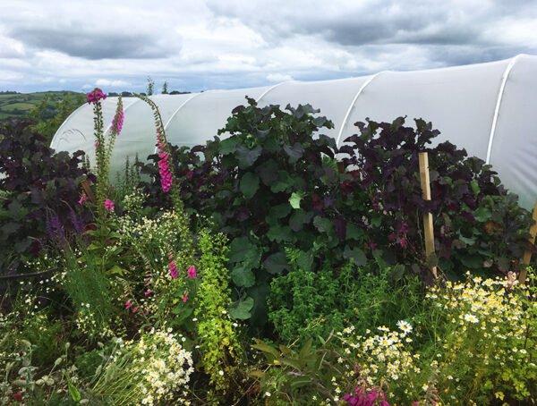 purple tree collards growing in the vegetable garden