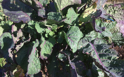 Perennial kale and collards – quite a collection