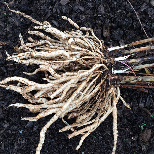 Freshly harvested skirret roots