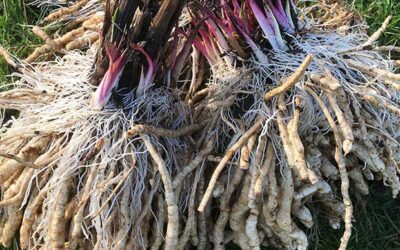 Skirret harvesting in the sun