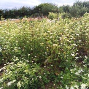 Skirret flowering in the field