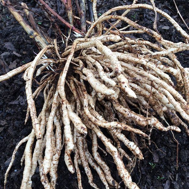Freshly harvested skirret root grown from Skirret seed