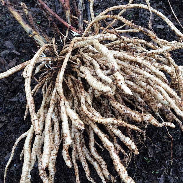 Freshly harvested skirret root grown from Skirret seed