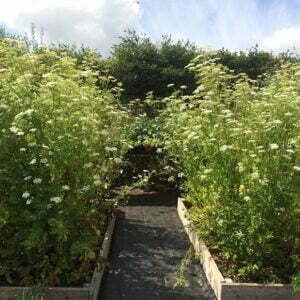 Skirret plants in raised beds