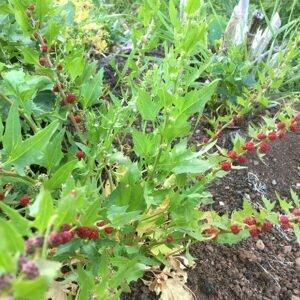 Strawberry Spinach