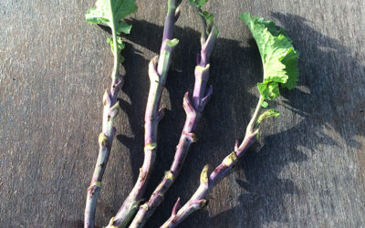 Perennial kale cuttings – latest update