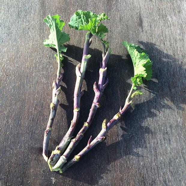 Taunton Deane perennial kale stem cuttings