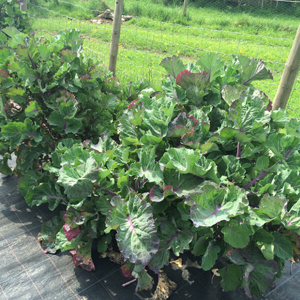 Taunton Deane perennial kale (potted plant)